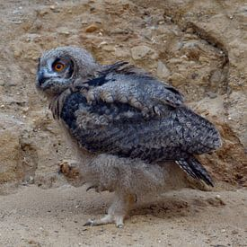 Eurasian Eagle Owl ( Bubo bubo ), young chick, moulting plumage, owlet in a sand pit, walking, explo van wunderbare Erde
