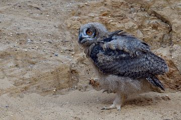 Eurasian Eagle Owl ( Bubo bubo ), young chick, moulting plumage, owlet in a sand pit, walking, explo van