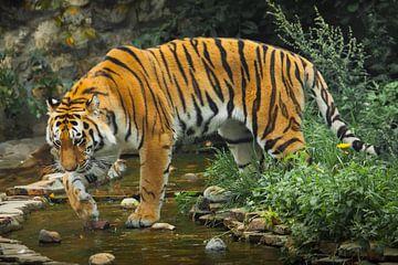 Un beau tigre, un grand chat prédateur sur fond de ruisseau et de forêt saturée vert émeraude (jungl sur Michael Semenov