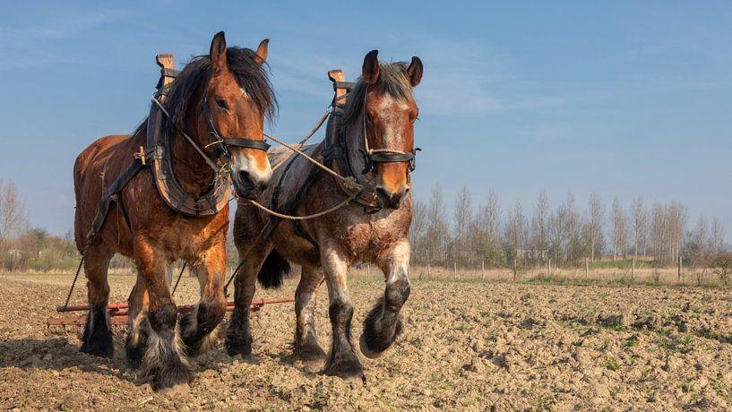 Trekpaarden voorjaarswerkzaamheden van Bram van Broekhoven