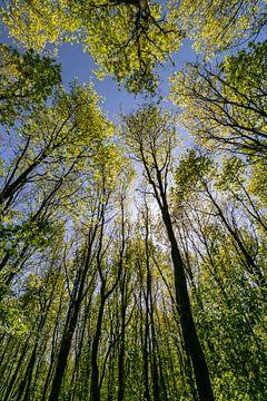 Hoge bomen in de zon van Paul Veen