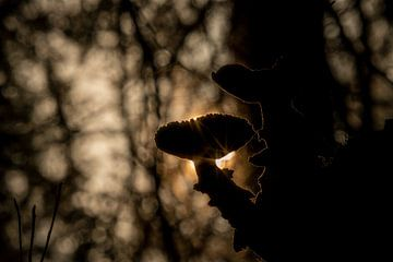 Silhouet van grote paddenstoel tegen ochtendzon - golden hour in de herfst van John Ozguc