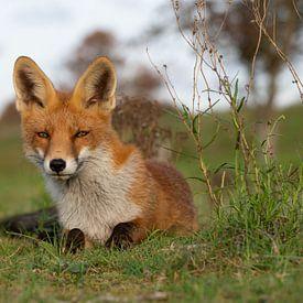 Süß aussehender Fuchs von Yvonne van der Meij