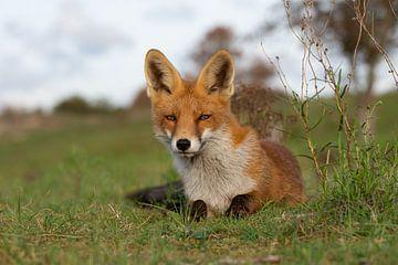 Sweet looking fox van Yvonne van der Meij