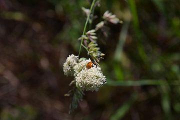 Lieveheersbeestje van Michael van Eijk