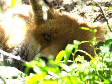 jonge vos in het zonnetje von Pascal Engelbarts