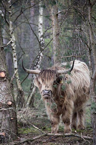 Stoere Schotse Hooglander