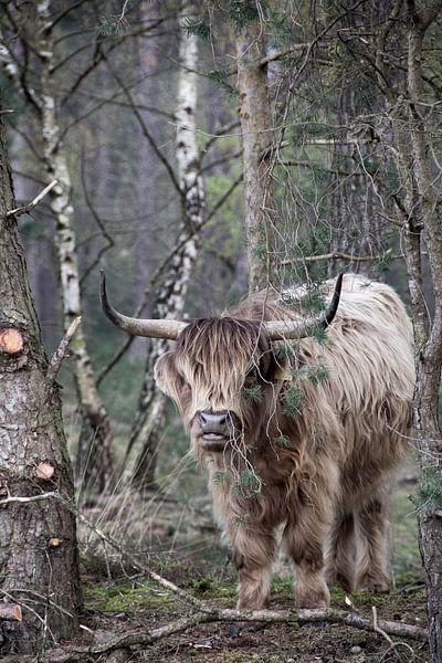 Stoere Schotse Hooglander sur Miranda Snoeijen