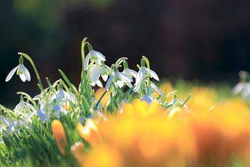 Sneeuwklokjes in de tuin. Met narcissen. van Henk Cruiming