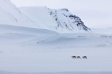 Rendieren op Spitsbergen van
