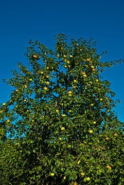 De appels van Norbert Sülzner