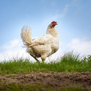 De kip van