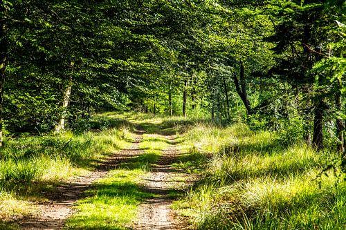 Wandelpad in bos in Drents-Friese Wold