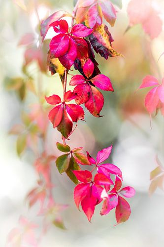 Rode herfstslinger