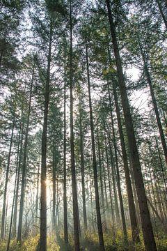 Herbstlicher Wald auf der Veluwe mit weichem Abendlicht.