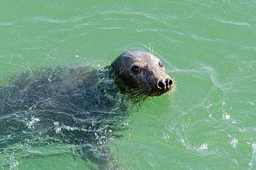 zeehond in Grevelingenmeer van