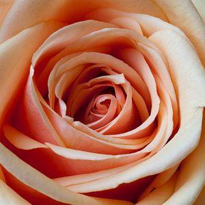Rose roos. van M. van Oostrum