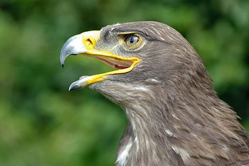 Kopf eines Adler von Rene du Chatenier