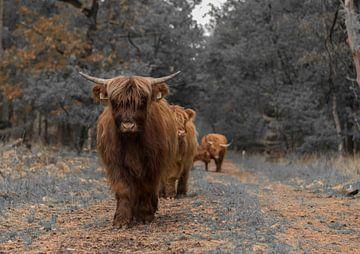 Schotse Hooglanders aan de wandel van Ans Bastiaanssen
