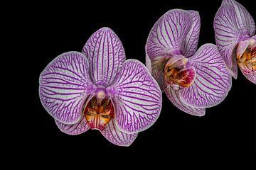 """Paarse Bloem Orchidea """"Drie op een rij"""" von Rob Smit"""