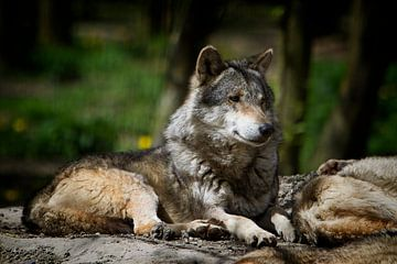 Wolf van Arie Bon