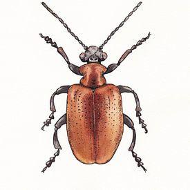 Roter Käfer von Ebelien