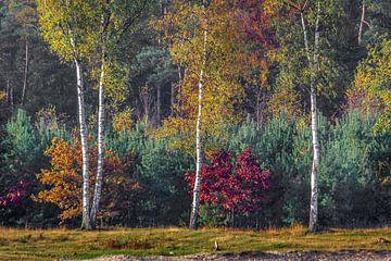 Drie berken in de herfst van Ron van Ewijk