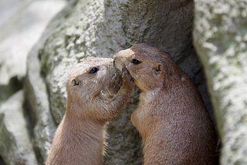 Twee kussende grondeekhoorns van Anja Uhlemeyer-Wrona