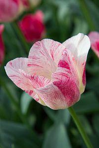 Roze tulp met groene achtergrond