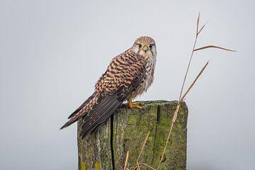 Torenval Kestrel Falco tinnunculus von Ronald Groenendijk