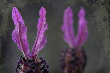 Vlag lavendel of vlinderlavendel van Rietje Bulthuis