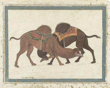 Kämpfende Kamele
