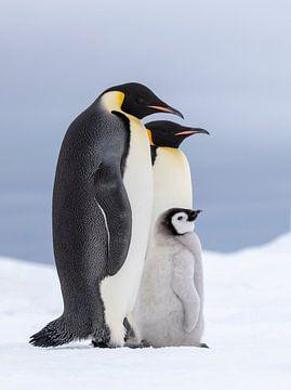 Keizer pinguin (Aptenodytes forsteri) ouders met jong staand op het zeeijs van Nature in Stock