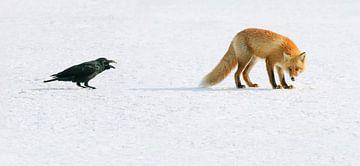 Rode vos en een Dikbekkraai (confrontatie) van Harry Eggens