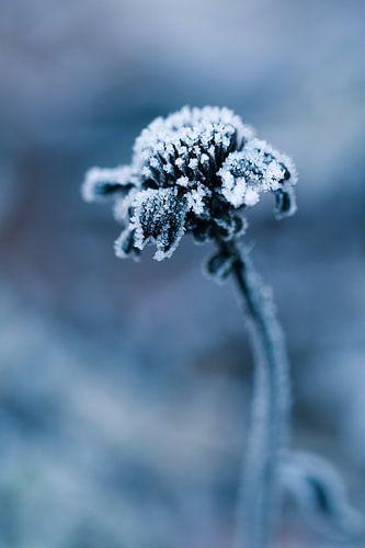 Bevroren jonge bloem van