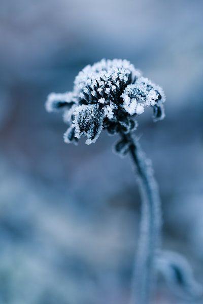 Bevroren jonge bloem van Lily Ploeg