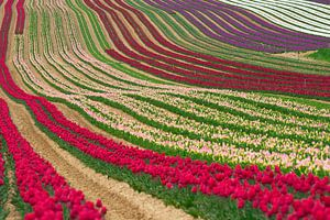 Les tulipes van