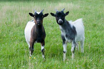 Jonge geitjes in de wei van Tamara Witjes