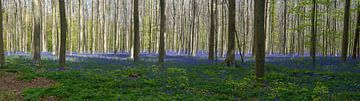 Hallebos in bloei van Wim van der Wind