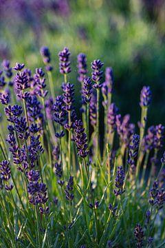 Lavendel in Bloei van Clazien Boot