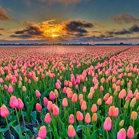 Zonsondergang met oranje tulpen in een bollenveld van eric van der eijk