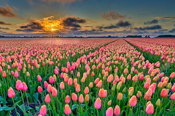 Sonnenuntergang mit orangefarbenen Tulpen in einem Blumenzwiebelfeld von eric van der eijk