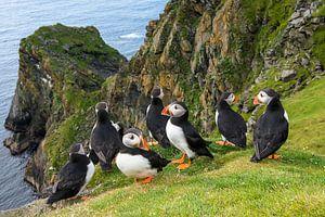 Papegaaiduikers (Fratercula arctica) aan de kust op de rand van een klif van