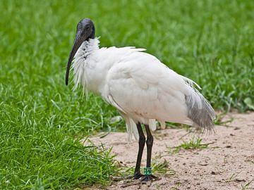 Heilige Ibis : Diergaarde Blijdorp van Loek Lobel