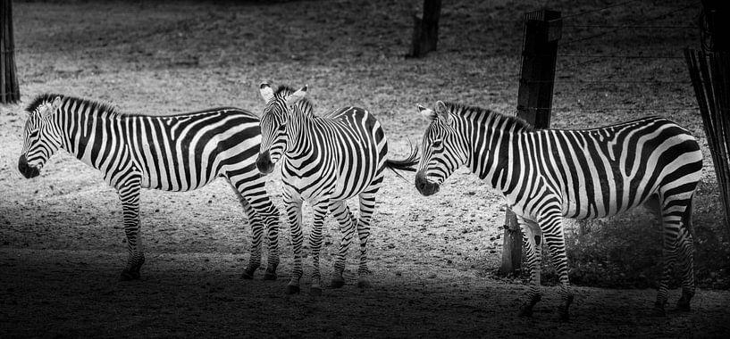 Tiere | Zebras von Sylvana Portier