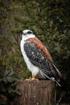 Oiseau de proie, buse à dos roux sur