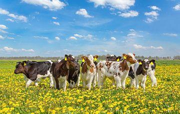 Groep pasgeboren kalveren in Nederlandse weide met gele paardenbloemen van Ben Schonewille