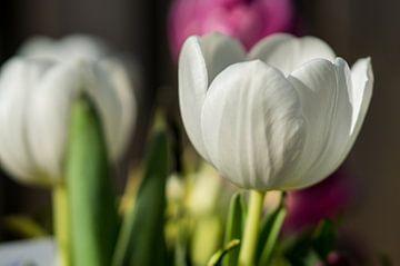 witte tulp von Rene Wassenbergh