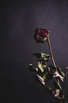 Rode roos van