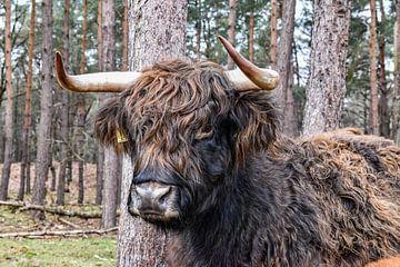 Schottischer Highlander auf der Heide von Sharon Hendriks